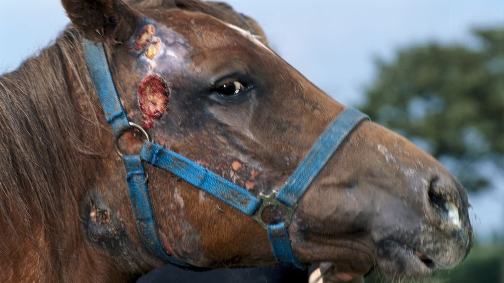 Horse with abscessation of lymph nodes